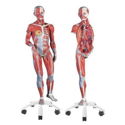 B51 - 3/4 Life-Size Female Muscle Model on a metal stand without internal organs, 23-part
