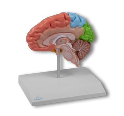 C921 - Model regionů poloviny mozku, životní velikost