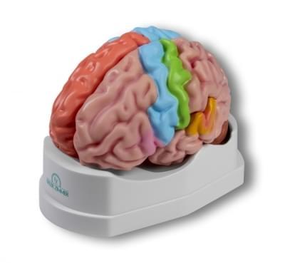 C922 - Funkční a regionální model mozku, životní velikost, 5 částí