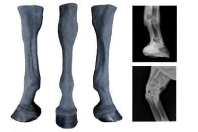 Equine Palpation Radiology Limbs
