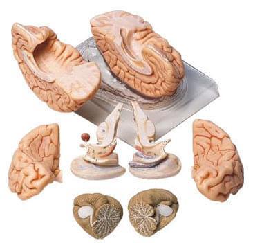 BS 20 - Brain