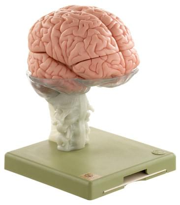 BS 25 - Model of Brain in 15 Parts