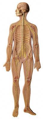 BS 27 - Nervous System