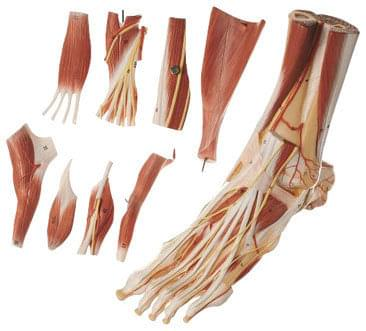 NS 9 - Muscles of the Foot