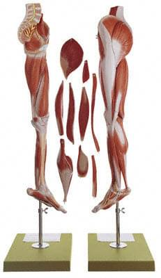 NS 10 - Muscles of the Leg with Base of Pelvis