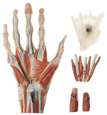 NS 13 - Muscles of the Hand with Base of Fore-Arm