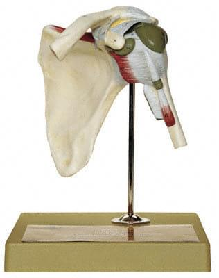 NS 17 -Shoulder Joint
