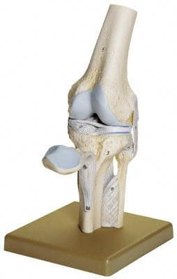 NS 19 - Knee Joint