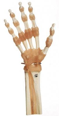 NS 55 - Functional Model of the Hand and Finger Joints