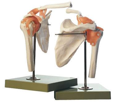 NS 53 - Functional Model of the Shoulder Joint