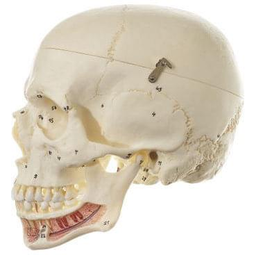 QS 2/1 - Artificial human skull