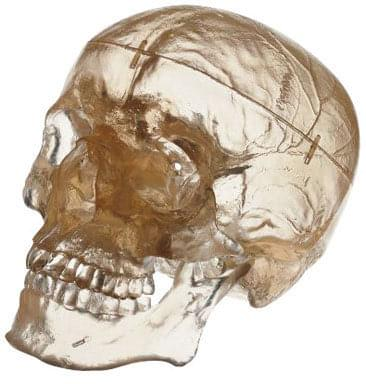 QS 7/T - Artificial human skull - transparent model