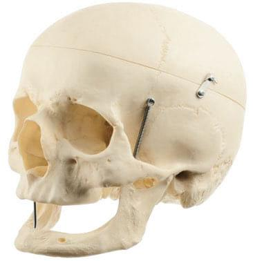 QS 7/7 - Artificial human skull