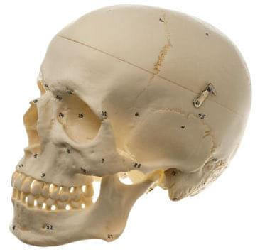 QS 7/1 - Artificial human skull