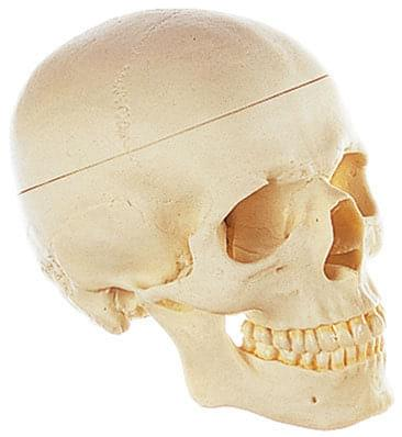 QS 7/E - Artificial model of skull base