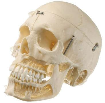 QS 8/10 - Artificial skull of adult human