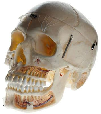 QS 8/11 - Artificial skull of adult human