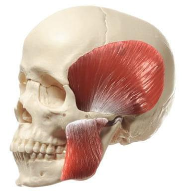 QS 8/218M - Model of skull with masticatory muscles - 18 parts