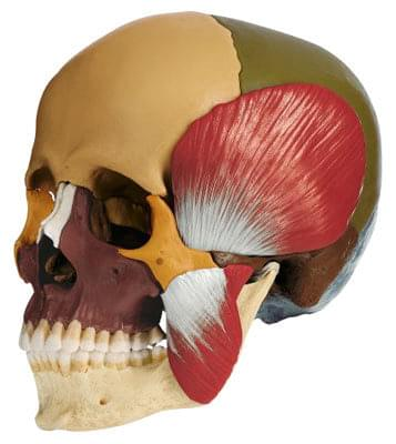 QS 8/318M - Model of skull with masticatory muscles - 18 parts