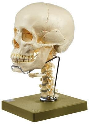 QS 8/2C - Model of skull withcervical spine and hyoid bone - 14 parts