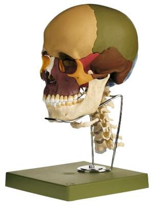 QS 8/3C - Model of skull with cervical spime and hyoid bone - 14 parts