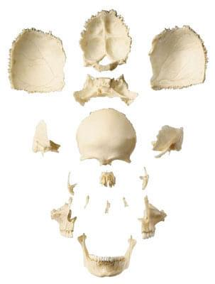 QS 9/1 - Artificial human skull of an adult