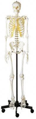 QS 10/1 - Artificial human skeleton