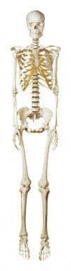 QS 10/8 - Artificial human skeleton