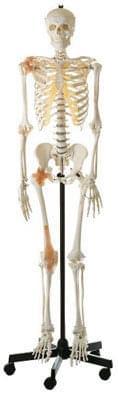 QS 10/6 - Artificial human skeleton