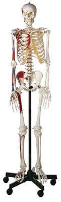 QS 10/9 - Artificial human skeleton