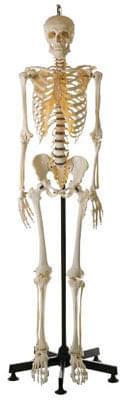 QS 10/14 - Artificial human skeleton