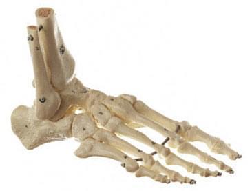 QS 23 - Model of skeleton feet (flexible)