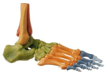 QS 22/4 - Tightly skeleton feet (flexible at the joints, color coded)