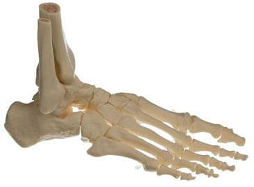 QS 22/5 - Skeleton of right feet (moving the joints)