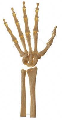 QS 31/5 - Kostra ruky (pohyblivá v kloubech)