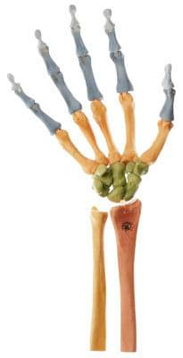 QS 31/4 - Skeleton right hand (the joints moving, color-coded)