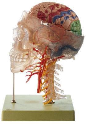 QS 65/7 - Neuroanatomy Head Model