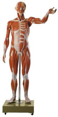 AS 2/2 - Male Muscle Figure