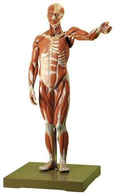 AS 1 - Male Muscle Figure