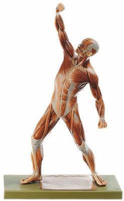 AS3 - Male Muscle Figure
