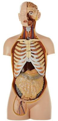 AS 23/1 - Male Torso with Head and Open Back