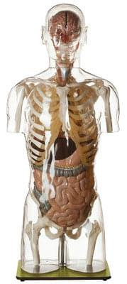 AS 9/2 - Transparent Torso Model with Head