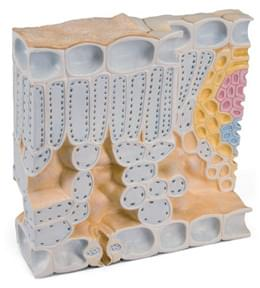 Block Model of Leaf Structure