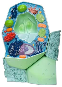 The Plant Cell, magnified 500 000 - 1 000 000 times