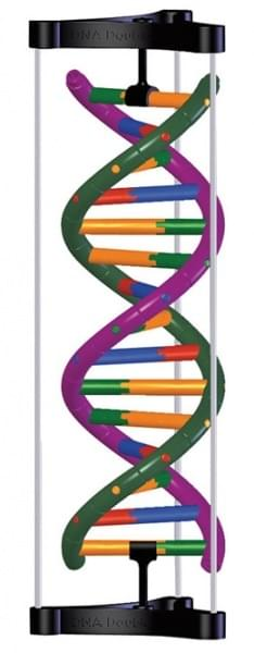 DNA Double Helix Structure Model