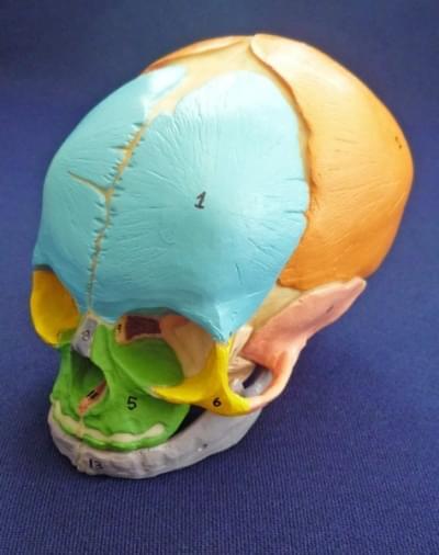 Didactic foetal skull