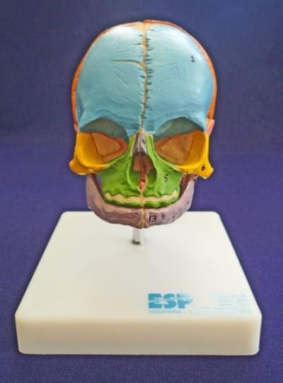 Didactic foetal skull on stand
