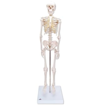 "A18 - Mini Skeleton ""Shorty"", mounted on a base"