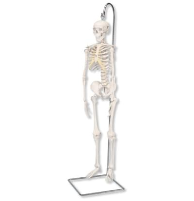 """A18/1 - Mini Human Skeleton """"Shorty"""", anatomically detailed, on hanging stand"""