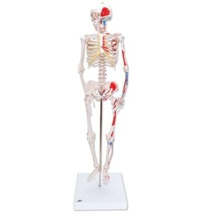 """A18/5 - Mini Human Skeleton """"Shorty"""", with painted muscles, pelvic mounted"""